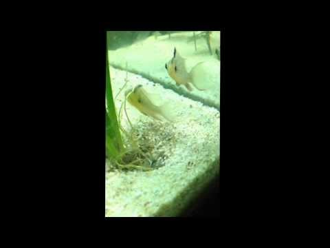 Bolivian Ram Cichlid pair protecting fry beneath the amazon sword plant.