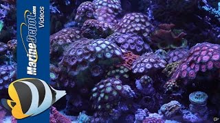 getlinkyoutube.com-Zoanthid and Palythoa: Coral Care Tips, Paly Toxin and Fragging