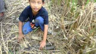getlinkyoutube.com-Padi SRI Selangor : Ikan Pulang Ke Sawah Dengan SRI