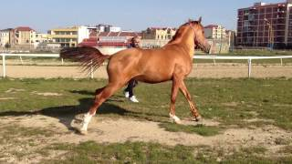getlinkyoutube.com-Karabakh horse Lachin 3 years old stalion Карабахский жеребчик ЛачынIMG_0134