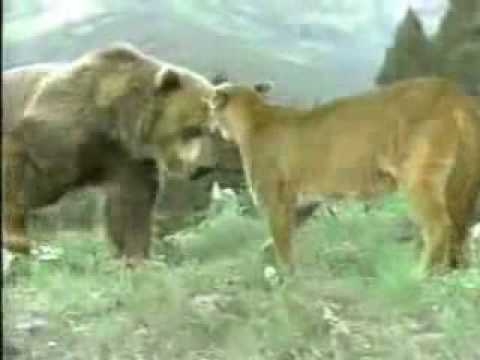 Videos Related To 'animal Planet - Oso Vs Puma - Quien Gana?