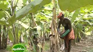 getlinkyoutube.com-Cultivation of Kaveri Banana (Pisang lilin) : A new banana variety