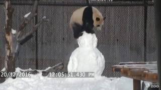 getlinkyoutube.com-Toronto Zoo Giant Panda vs. Snowman