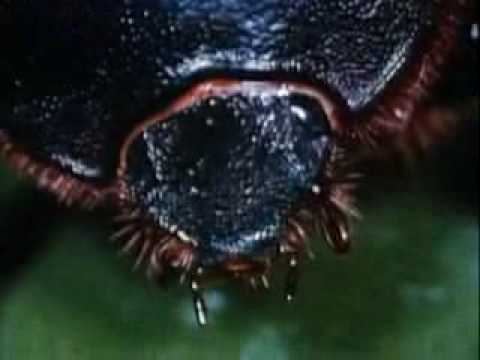 Beetles: Backyard Science (clip)