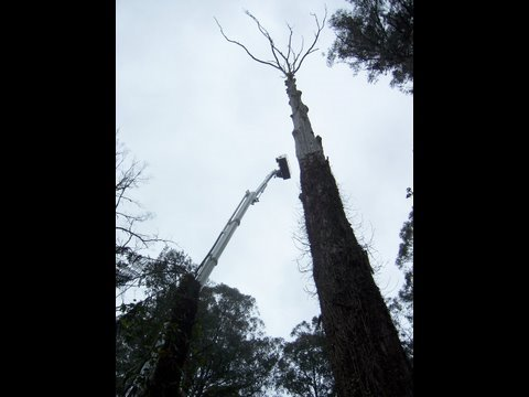 bucket truck 60 Meters big tree cutting with Ace Tree