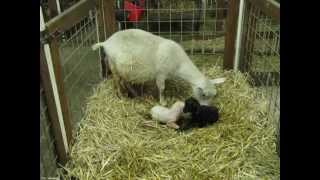 getlinkyoutube.com-Pygora goat going through the actual birthing process