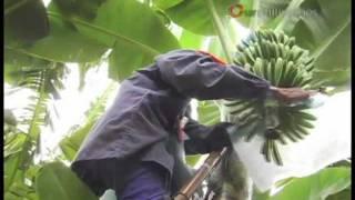 getlinkyoutube.com-Home Grown World Class Bananas