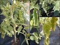 Tomato Plants Help - Curled leaves and wilt.