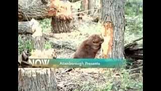 getlinkyoutube.com-BBC Wildlife Beavers the Master Builders
