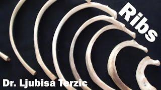 getlinkyoutube.com-Human Anatomy Video: Ribs - Typical & Atypical, True & False ribs