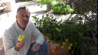getlinkyoutube.com-Dwarf Meyer Lemon Tree success