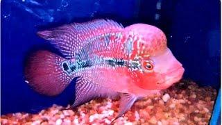 getlinkyoutube.com-ปลาหมอสีหัวโหนกราคา400บ.และปลาตู้หลายชนิดสวยงามมาก