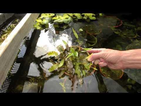 Aquatic Plants In Greenhouse Guppy Pond