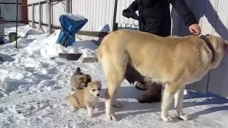 getlinkyoutube.com-щенки алабая с мамой в 36 дней