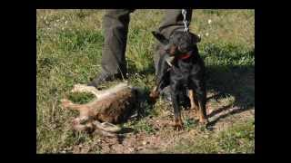 getlinkyoutube.com-Vidéo n° 06 - Les Jagdterriers de las Sesteriades -