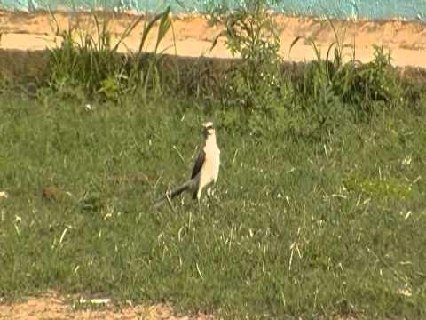 Aves de Venezuela-Paraulata llanera