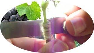 getlinkyoutube.com-how to GRAFT a grapeVINE, green on green