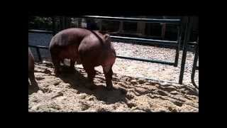 getlinkyoutube.com-Duroc Show Pigs in the Sand Box