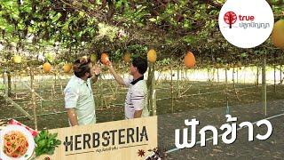 Herbsteria สมุนไพรเข้าเส้น : ฟักข้าว