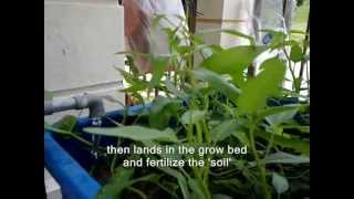 getlinkyoutube.com-FARM LOBSTERS AT HOME - AQUAPONIC METHOD