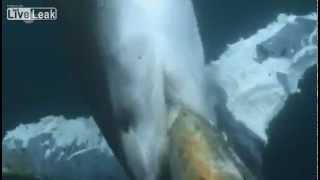 getlinkyoutube.com-Köpek Balığı Mavi Balinayı Canlı Canlı Yedi
