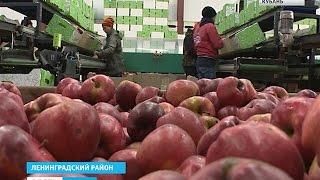 В России выросли закупочные цены на яблоки