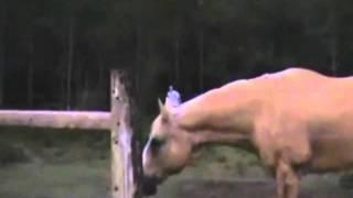 Корова и дебил