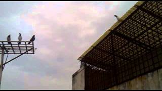 getlinkyoutube.com-India,SuratHigh flying pigeons of surat Ustad NIKUNG... Turnement 2011 ,27/11/2011