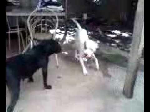 Videos De Rottweiler Vs Pitbull Sound Mirar Videos Online Rottweiler ...