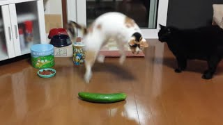 getlinkyoutube.com-Funny Cats Scared of Random Things and Cucumbers Compilation!