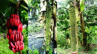 getlinkyoutube.com-Aneh Tapi Nyata Pohon pisang ajaib Pisang Bertandan Unik