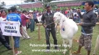 getlinkyoutube.com-Kambing Etawa Super Terbesar 121 kg