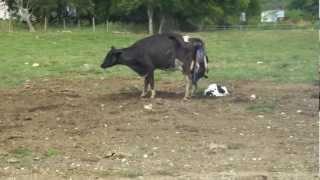 Parto de mellizos de una vaca / Cow gives birth to twins