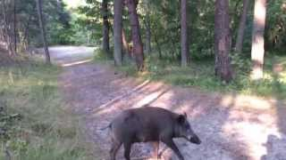 getlinkyoutube.com-bliskie spotkanie z dzikiem
