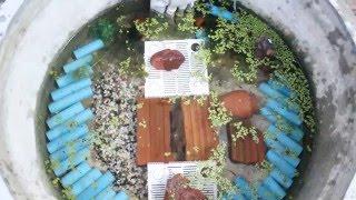 getlinkyoutube.com-วิธีการเลี้ยงกุ้งก้ามแดง หรือกุ้งเครฟิช การเตรียมบ่อสำหรับมือใหม่