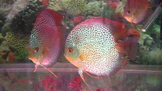 getlinkyoutube.com-sunny discus in hong kong china discus aquarium fish farm 七彩神仙魚 (旭日水族)
