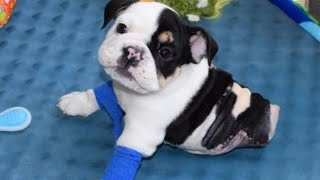 getlinkyoutube.com-Rescued English Bulldog Born with Half a Body Will Melt Your Heart