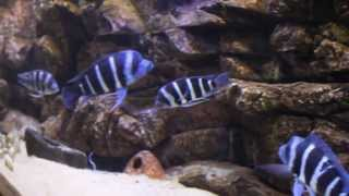 getlinkyoutube.com-Cyphotilapia Frontosa Zaire Blue F1 Moba