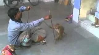 getlinkyoutube.com-monkey dance india.mp4