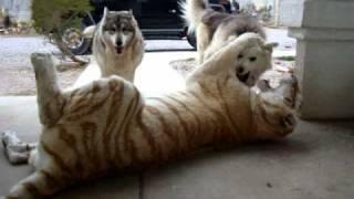 getlinkyoutube.com-Tiger vs Dog Pack