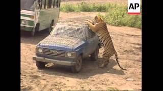 getlinkyoutube.com-China - Siberian tigers