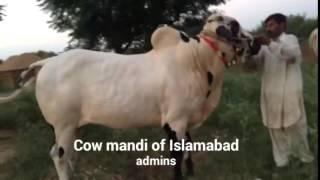 getlinkyoutube.com-Amazing Dhani Bull