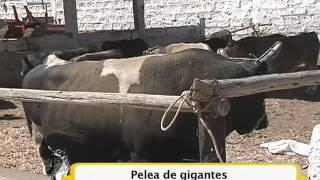 getlinkyoutube.com-Pelea de gigantes