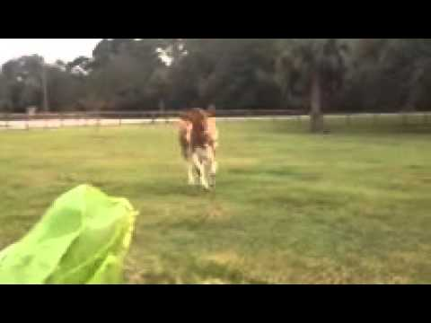 Excited cow