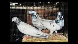 getlinkyoutube.com-Pakistani Sialkot Pigeons Part 8