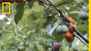 getlinkyoutube.com-This Crazy Tree Grows 40 Kinds of Fruit | National Geographic