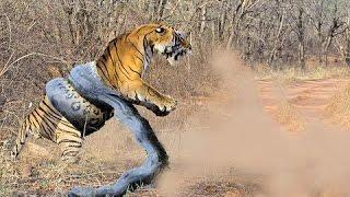 getlinkyoutube.com-Giant ANACONDA attacks TIGER - Animal Fight Python vs Tiger vs Jaguar Real Fight 2015