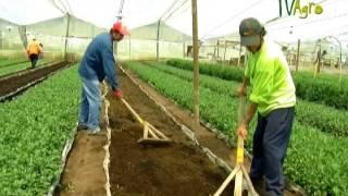 getlinkyoutube.com-Cultivo de Crisantemo - Juan Gonzalo Angel - TvAgro Chrysanthemum