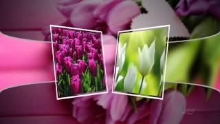 getlinkyoutube.com-Красивое поздравление. Тюльпаны.