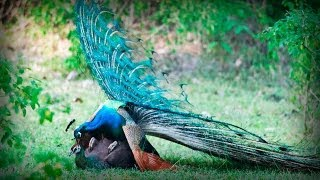 getlinkyoutube.com-Glamorous Indian Peacock | Pavo Real Glamuroso